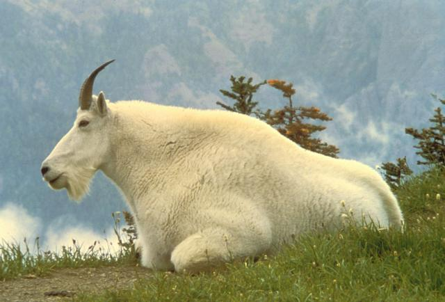 mountain_goat.jpg