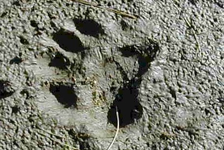beartracks.jpg