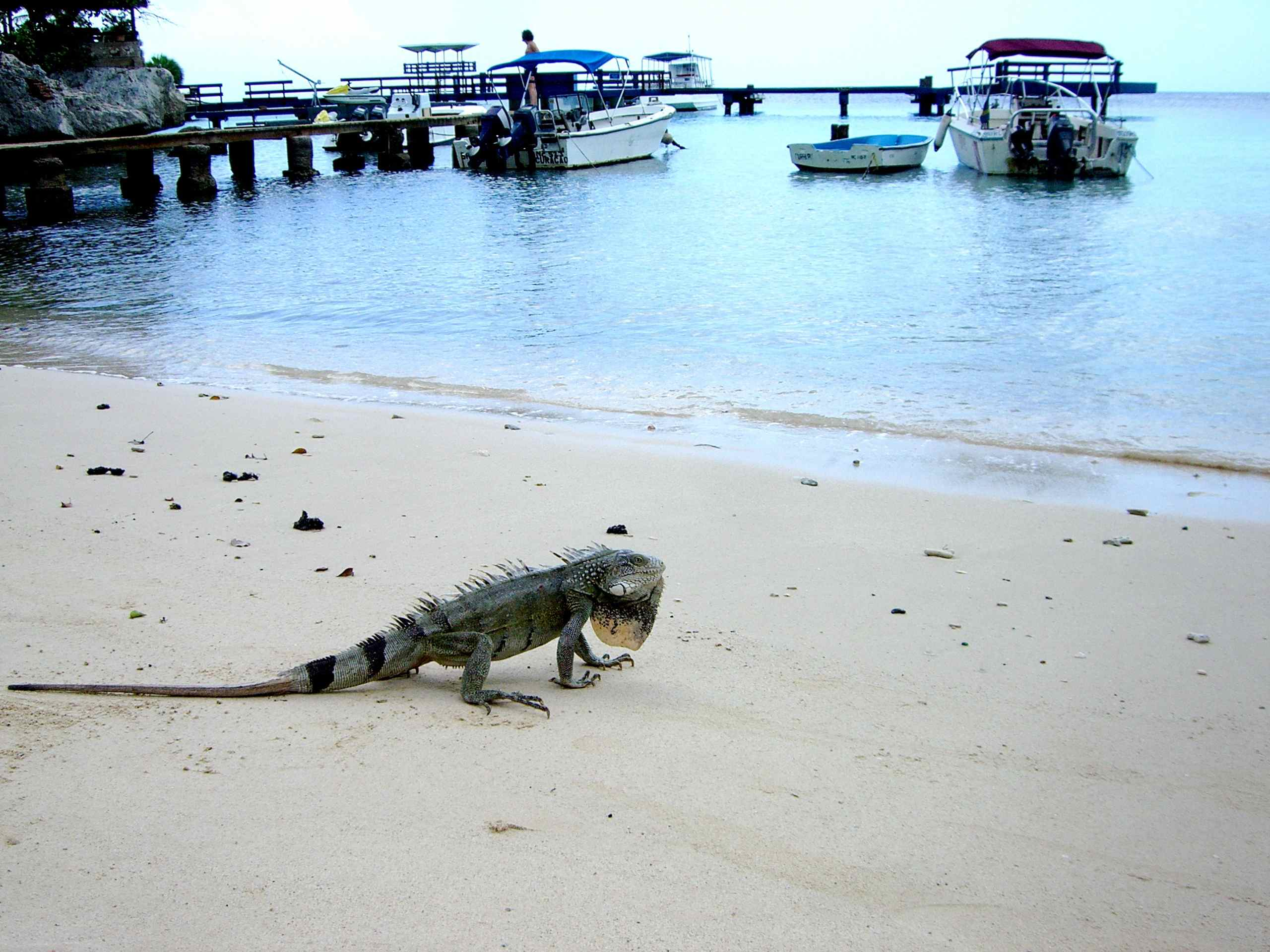 iguana_on_the_beach.jpg